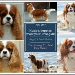 Your-loving venter Cavalier hvalpe